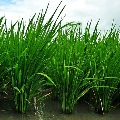 Rice-IRRI-120-WEB