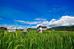 breeding for phosphorus efficient rice pstol1  philippines  2011 1-web