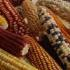 maize-diversity x-fonseca cimmyt-web1-square-small