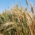 wheat-field cimmyt-square-small