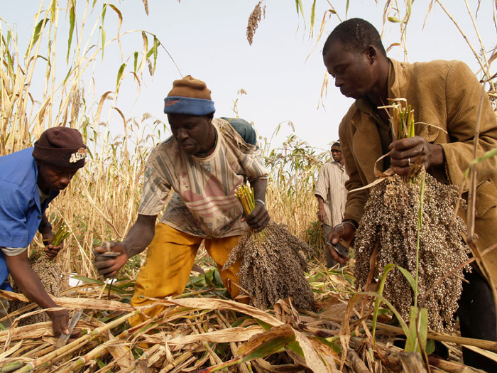 Sorghum farmers at work in the field in Mali.