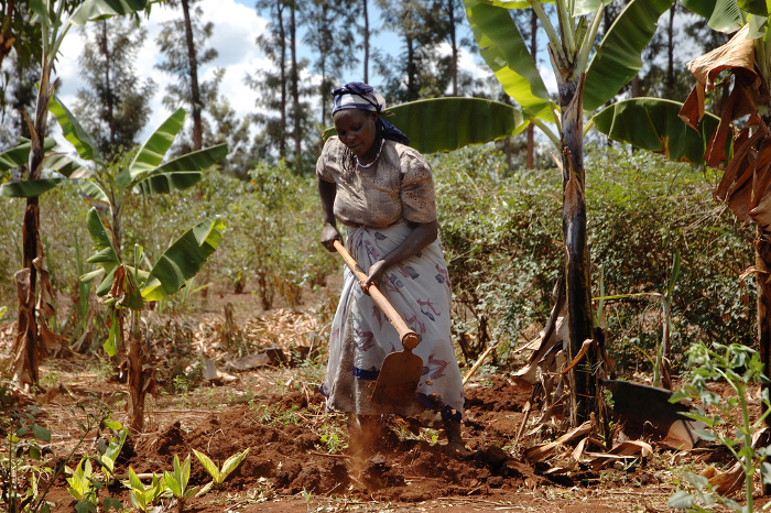 A Kenyan farmer prepares her maize plot for planting. Acid soils cover almost 90 percent of Kenya's maize-growing area, and can more than halve yields.