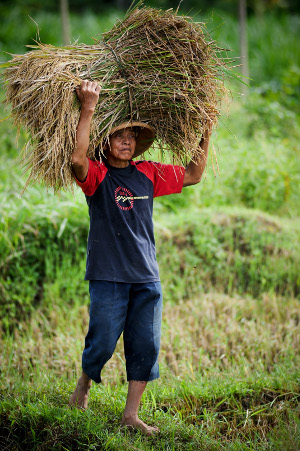 Suradiyo, a farmer from Bojong Village near Yogyakarta, Indonesia, harvests rice.