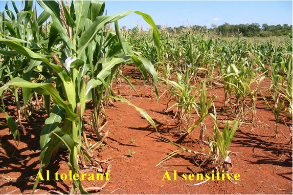 Maize trials in the field at EMBRAPA. The maize plants on the left are aluminium-tolerant while those on the right are not.
