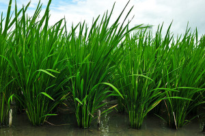 The rice variety on the left (IR-74) has the the gene locus Pup1, conferring phosphorus-efficient longer roots, while the rice on the right does not.