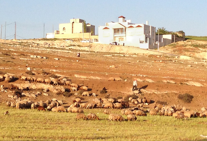 Barley-based livestock system on marginal drylands in Morocco.